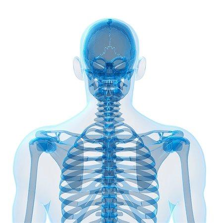 spinal column - Human skeleton, computer artwork. Stock Photo - Premium Royalty-Free, Code: 679-07765059