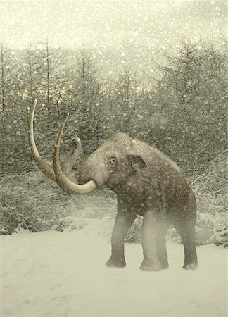 prehistoric - Woolly mammoth in snow Stock Photo - Premium Royalty-Free, Code: 679-07814058