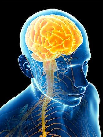 spinal column - Human brain, computer illustration. Stock Photo - Premium Royalty-Free, Code: 679-07962657