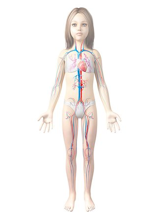 Cardiovascular system of a girl, computer illustration. Stock Photo - Premium Royalty-Free, Code: 679-08009425