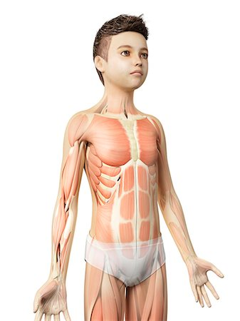 Muscular system of a boy, illustration Stock Photo - Premium Royalty-Free, Code: 679-08026808