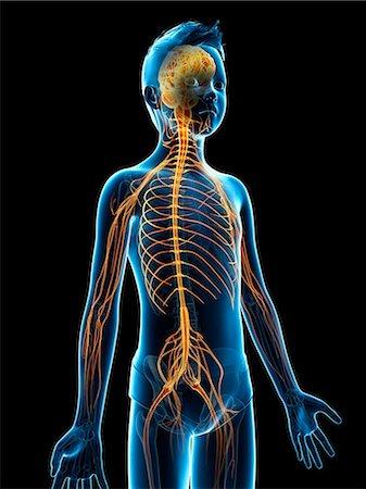 Nervous system of a boy, illustration Stock Photo - Premium Royalty-Free, Code: 679-08026815
