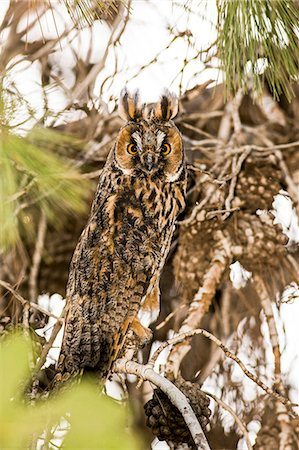 Long-eared Owl (Asio otus) Stock Photo - Premium Royalty-Free, Code: 679-08027404