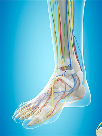 Human foot anatomy, computer illustration. Stock Photo - Premium Royalty-Free, Code: 679-08121281