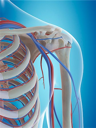 Human vascular system of the shoulder, computer illustration. Stock Photo - Premium Royalty-Free, Code: 679-08121305