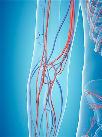 Human vascular system of the arm, computer illustration. Stock Photo - Premium Royalty-Free, Code: 679-08121329