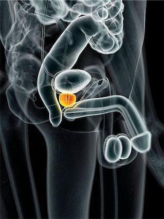 Male prostate gland, computer illustration. Stock Photo - Premium Royalty-Free, Code: 679-08121758