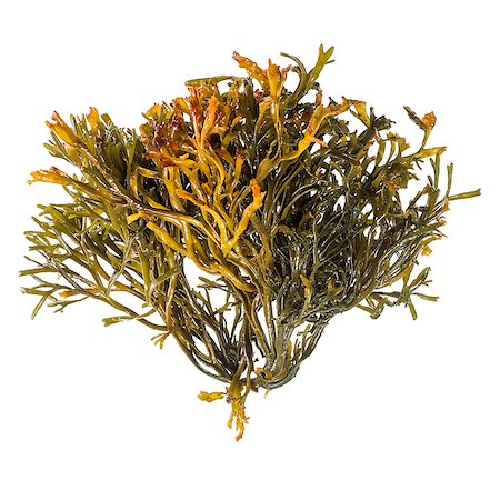 Channelled wrack (Pelvetia canaliculata) seaweed Stock Photo - Premium Royalty-Free, Code: 679-08228167
