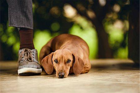 Dog lying on floor under table. Stock Photo - Premium Royalty-Free, Code: 679-08361450