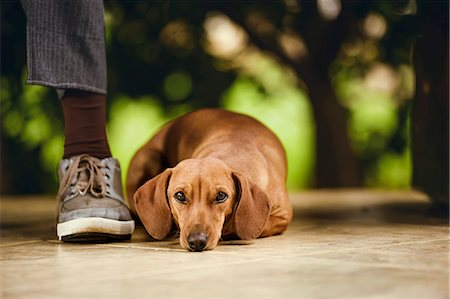 Dog lying on floor under table. Stock Photo - Premium Royalty-Free, Code: 679-08361450