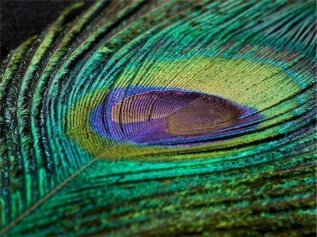 Peacock feather, close up. Stock Photo - Premium Royalty-Free, Code: 679-08424984