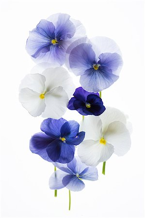 backlit pansy petals on a lightbox Stock Photo - Premium Royalty-Free, Code: 679-08718324