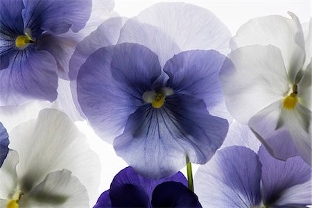 floral - backlit pansy petals on a lightbox Stock Photo - Premium Royalty-Free, Code: 679-08718322