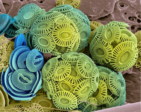 Calcareous phytoplankton. Coloured scanning electron micrograph (SEM) of the external mineralised structures (coccospheres) of small marine algal organisms called coccolithophores. The coccospheres are made up of coccoliths, which are individual plates of calcite crystals. Stock Photo - Premium Royalty-Free, Code: 679-02684411