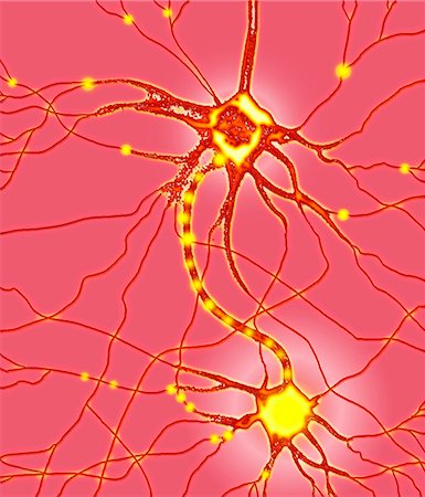 synapse - Nerve cells. Computer artwork of nerve cells, or neurons. Stock Photo - Premium Royalty-Free, Code: 679-02684639
