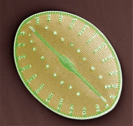 Diatom. Coloured scanning electron micrograph (SEM) of a diatom (Coscinodiscus sp.). Diatoms are a major group of eukaryotic algae, and are one of the most common types of phytoplankton. A characteristic feature of diatom cells is that they are encased within a unique cell wall made of silica (hydrated silicon dioxide) called a frustule. Magnification: x600 when printed at 10 centimetres wide. Stock Photo - Premium Royalty-Free, Code: 679-02685084