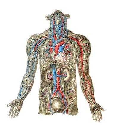 Circulatory system, artwork. Stock Photo - Premium Royalty-Free, Code: 679-03678815
