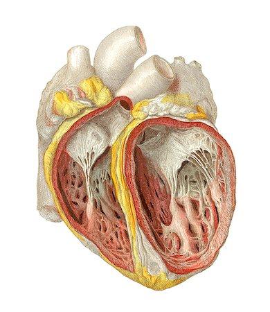 Heart anatomy, artwork. Stock Photo - Premium Royalty-Free, Code: 679-03678825