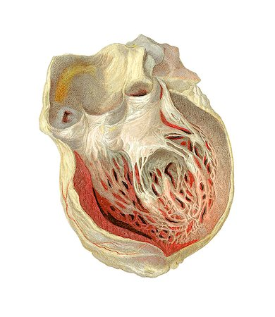 Heart anatomy, artwork. Stock Photo - Premium Royalty-Free, Code: 679-03678827