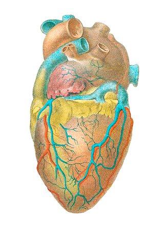 Heart anatomy, artwork. Stock Photo - Premium Royalty-Free, Code: 679-03678828