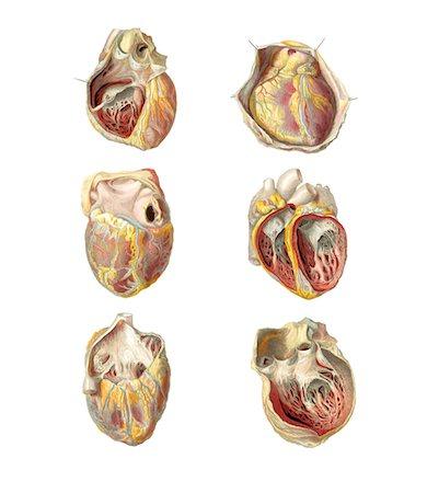 Heart anatomy, artwork. Stock Photo - Premium Royalty-Free, Code: 679-03678829
