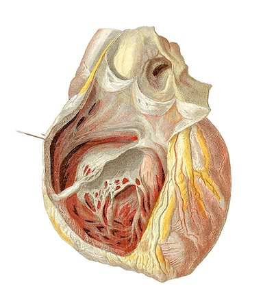 Heart anatomy, artwork. Stock Photo - Premium Royalty-Free, Code: 679-03678822