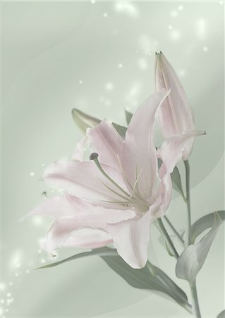 flower graphic - Lily flowers (Mourning image) Stock Photo - Premium Royalty-Free, Code: 670-06025187