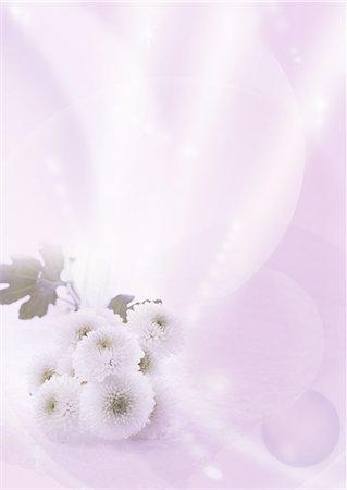 flower graphic - Chrysanthemums (Mourning image) Stock Photo - Premium Royalty-Free, Code: 670-06025189