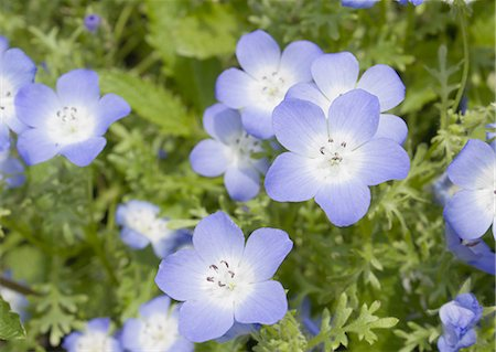 flowers - Nemophila menziesii Stock Photo - Premium Royalty-Free, Code: 670-06450124