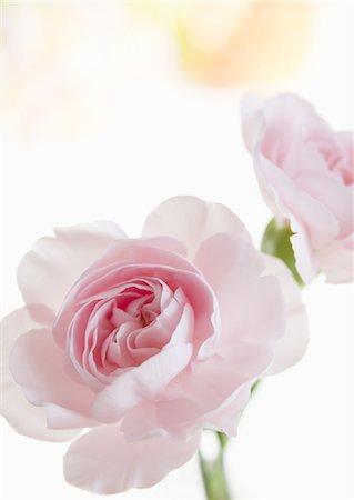 rose - Pink roses Stock Photo - Premium Royalty-Free, Code: 670-06450331