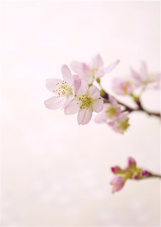 Cherry blossoms Stock Photo - Premium Royalty-Free, Code: 670-06824763
