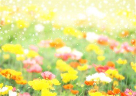flower graphic - Poppy field Stock Photo - Premium Royalty-Free, Code: 670-03887056