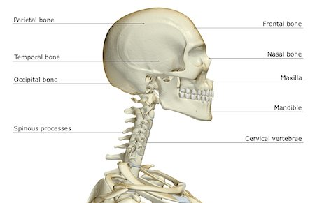 human skull and neck bones stock photos - page 1 : masterfile, Human body