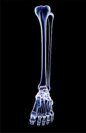The bones of the leg Stock Photo - Premium Royalty-Free, Code: 671-02094973
