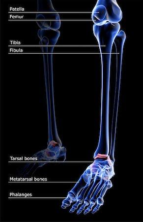 The bones of the leg Stock Photo - Premium Royalty-Free, Code: 671-02095030
