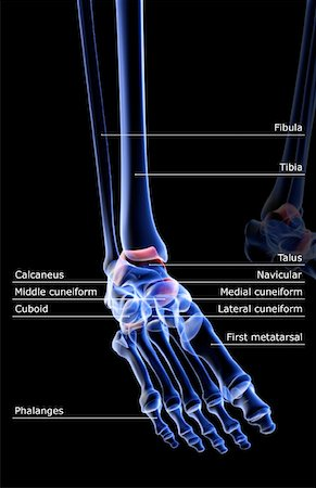 The bones of the foot Stock Photo - Premium Royalty-Free, Code: 671-02092578
