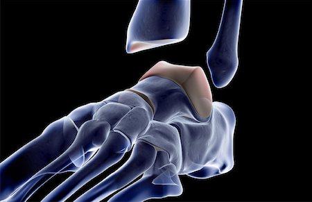 The bones of the foot Stock Photo - Premium Royalty-Free, Code: 671-02092816
