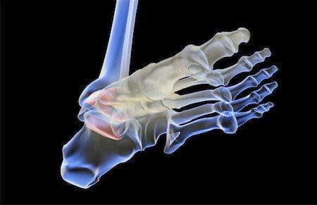 The bones of the foot Stock Photo - Premium Royalty-Free, Code: 671-02092879