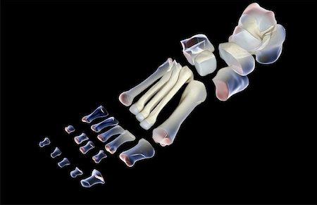 The bones of the foot Stock Photo - Premium Royalty-Free, Code: 671-02093554
