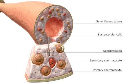 sperme - Seminiferous tubules of the testes Stock Photo - Premium Royalty-Free, Code: 671-02101537