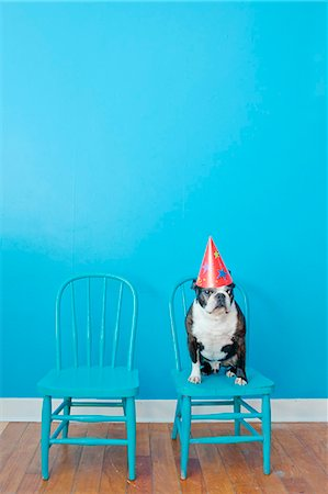 festive - Boston terrier seated on blue chair wearing party hat Stock Photo - Premium Royalty-Free, Code: 673-06025538