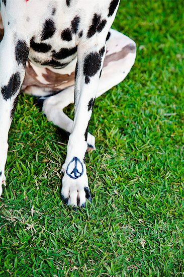 Black and white dog with peace sign on paw Stock Photo - Premium Royalty-Free, Image code: 673-06025598