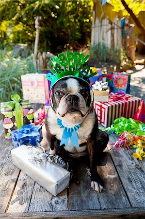 special event - Boston terrier dog with birthday presents Stock Photo - Premium Royalty-Free, Code: 673-06964868