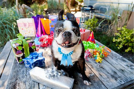 special event - Boston terrier dog with birthday presents Stock Photo - Premium Royalty-Free, Code: 673-06964870