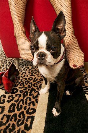 stocking feet - Woman rubbing Boston Terrier with feet Stock Photo - Premium Royalty-Free, Code: 673-02139284