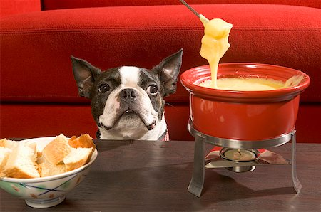 dog in heat - Boston Terrier staring at fondue Stock Photo - Premium Royalty-Free, Code: 673-02139281