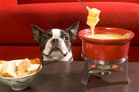 dog in heat - Boston Terrier staring at fondue Stock Photo - Premium Royalty-Free, Code: 673-02139281