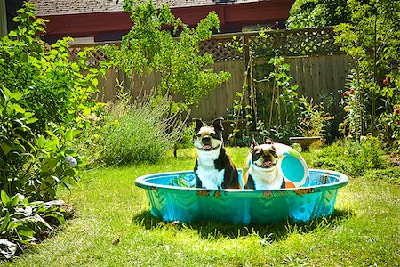 dog in heat - Two Boston Terriers panting in a wading pool Stock Photo - Premium Royalty-Free, Code: 673-02386566