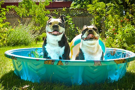 dog in heat - Two Boston Terriers panting in a wading pool Stock Photo - Premium Royalty-Free, Code: 673-02386568