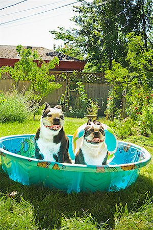 dog in heat - Two Boston Terriers panting in a wading pool Stock Photo - Premium Royalty-Free, Code: 673-02386569